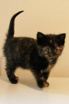 Tortoiseshell Kitten to good home for sale in Regina, Saskatchewan ...