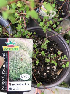 Muehlenbeckia astonii Native Plants, Indoor Plants, Cactus, Conditioner, Inside Plants