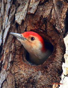 Red-bellied Woodpecker nests within self bored shelter within a Pine tree