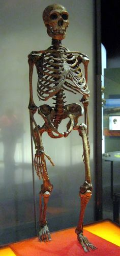 Mounted Neanderthal skeleton, American Museum of Natural History