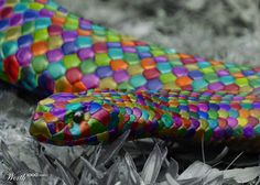 Snake of Color