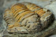 an example of the calymenid trilobite Colpocoryphe roualti. .DLF014C.jpg (800×537)