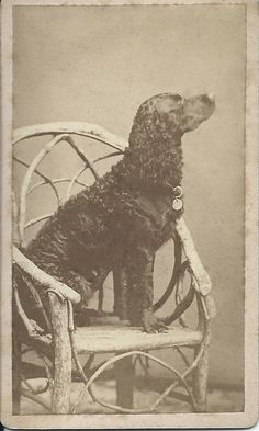 1880s cdv of dignified curly-haired dog, sitting in profile, on a rustic chair. He moved his head a bit, so the photo is a little blurry. Photo by N.M. Youndt, Belvidere Ill. From bendale collection