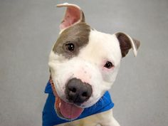 TO BE DESTROYED 2/27/14 Manhattan Center -P  My name is MAX. My Animal ID # is A0989590. I am a male white and gray pit bull mix. The shelter thinks I am about 2 YEARS old.  I came in the shelter as a SEIZED on 01/15/2014 from NY 10310, owner surrender reason stated was ABANDON. I came in with Group/Litter #K14-165641.
