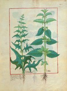 Ms Fr. Fv VI #1 fol.156r Urticaceae (Nettle Family) Illustration from the 'Book of Simple Medicines' by Mattheaus Platearius (d.c.1161) c.1470 (vellum) Wall Art Prints by Robinet Testard