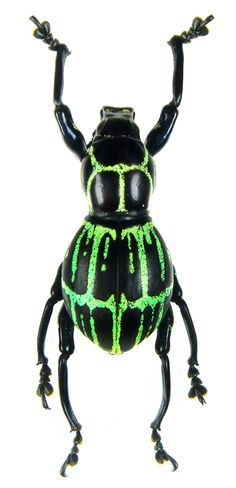 Pachyrrhynchus moniliferus <--- I saw this and thought it was a fabulous beetle ready to party