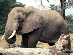 26 best elephants images on pinterest elephants african bush