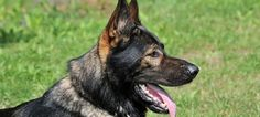 Embrace These Traits Or Don't Get A German Shepherd Dog