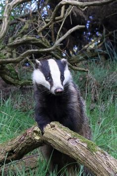 Amazing Badger in Aberdeen what a cute nose! Wild Creatures, Woodland Creatures, Woodland Animals, All Gods Creatures, Beautiful Creatures, Animals Beautiful, Badger Tattoo, Funny Animals, Cute Animals