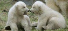 baby polar bears <3