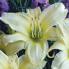 "Huge 5"" wide flowers with near white petals and a lime green throat are fragrant and appear in midsummer. 28"" tall x 18-24"" wide    One of our most popular perennial flowers, Daylilies originated in China. Through extensive hybridizing their color range is huge and they vary in size from dwarf to large. Many are fragrant and re-blooming. They thrive in full and part sun and grow in most any soil including clay in moist and dry conditions. The dwarf re-bloomers are especially nice for containers."