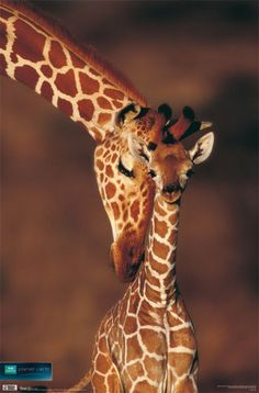 Another giraffe pic. Absolutely adorable!