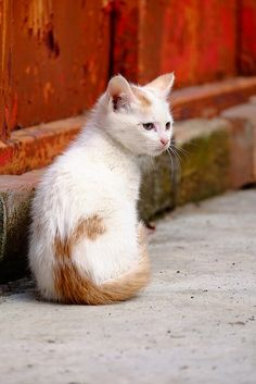 Cute white kitten with funny ginger back marking