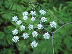 Deadly Poisonous cicuta maculate - Water Hemlock by stream… beautiful but has to be eliminated to protect kids and animals