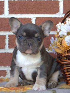 French Bulldog For Sale, Bulldog Puppies For Sale, French Bulldog Puppies, Teacup Bulldog, Teacup French Bulldogs, New Holland, Bullies, Cute Funny Animals, New Puppy