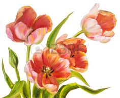 red tulip: Vintage red tulips isolated on white. Oil painting.