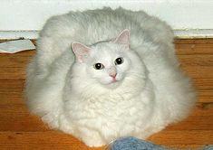 Fat Fluffy White Cat Photo: This Photo was uploaded by Holly_The_Cat_Lover. Find other Fat Fluffy White Cat pictures and photos or upload your own with . Fat Cat Pictures, Funny Animal Pictures, Funny Animals, Cute Animals, Animal Pics, Animal Captions, Animal Memes, White Cat Meme, White Cats