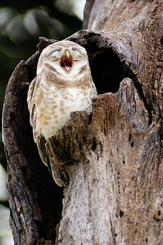 Yawning 'cause he was up all night...had a date with a hooter.