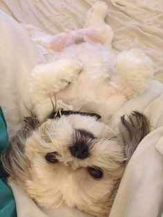 Shih tzu.  Belly playing time!!!  Charly loved his belly rubs.  Could not get enough