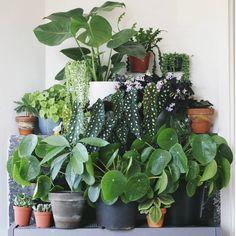 Hoi allemaal, In 'plantportrait' licht ik iedere keer een andere plant uit. Informatie, verzorgingstips en natuurlijk foto's! Niet alleen van mij maar ook van andere plantliefhebb…