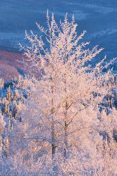 'Frost-covered balsam poplar tree in winter, Fairbanks, Alaska' - photo by Patrick J.