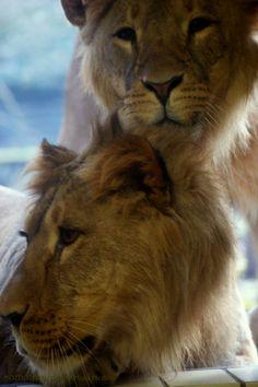 Lolek and Bolek, young lionmen at Zoo Dortmund