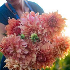 "Dahlia ""Hamari Gold."" floret flower farm."
