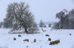 Wooly winter: Sheep try to graze despite the thick layer of snow in parkland near Greatford, Lincolnshire.
