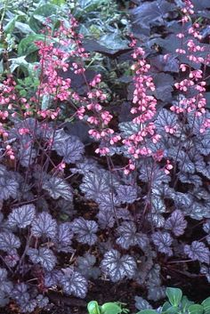 Heuchera Micrantha - Palace Purple Coral Bells.Similar to Blackberry Ice but moderately salt resistant; good for walkway borders.