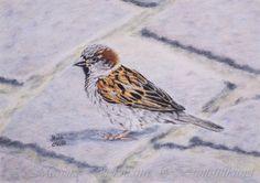 Sparrow. Drawing in colored pencil. Spatz. Zeichnung mit Buntstiften