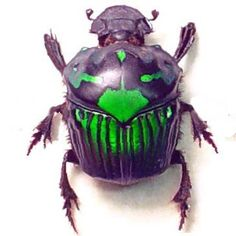 Rare Female Green Real Framed Scarab Beetle by REALBUTTERFLYGIFTS, $39.99