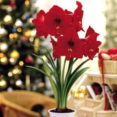 #Amaryllis Red Lion bulbs. Easy to grow indoor #bulbs that make great presents for the #holidays!