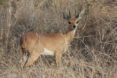 Kruger Nationa Park Kruger National Park, National Parks, Kangaroo, South Africa, Holidays, Travel, Animals, Wilderness, Baby Bjorn