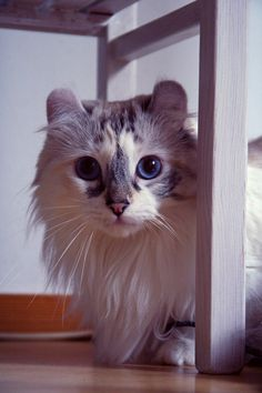 kitty cat kitten blue eyes kitteh white cat cute cat adorable cat cute kitten adorable kitten big eyes ragdoll cat ragdoll fluffy cat cat with big eyes