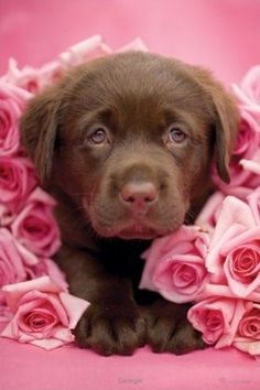 This adorable image from world renowned animal photographer Rachael Hale depicts a cute little brown Labrador named George surrounded by roses. Cute Puppy Pictures, Animal Pictures, Labrador Puppies, Labrador Retrievers, Retriever Dog, Cute Puppies, Cute Dogs, Chocolate Lab Puppies, Chocolate Labs