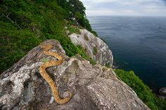 Ilha de Queimada Grande is an island located in Itanhaem, Sao Paulo, has lot of snakes, especially Golden lancehead (Bothrops insularisIlha), endemic species of the island and according to some scientists a poisonous snake with venom more potent in the world.  Foto: JOAO MARCOS ROSA  /NITRO