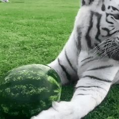 Bengal tiger with a watermelon via aww on May 01 2019 at Cute Funny Animals, Funny Cute, Cute Cats, Beautiful Cats, Animals Beautiful, Animals And Pets, Baby Animals, Fluffy Animals, Animal Memes