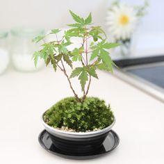 Mame Bonsai, Herbs, Plants, Herb, Flora, Plant, Spice