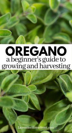 Growing Seedlings, Growing Herbs, Oregano Plant, How To Dry Oregano, Grow Banana Tree, Spring Vegetable Garden, Starting Seeds Indoors, Veggie Patch, Herb Gardening