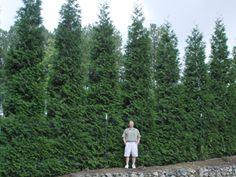 Green Giant Thuja Fast Growing Hedge Privacy Landscaping