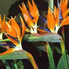 Strelitzia reginae (Bird of Paradise) - 6 seeds