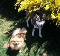 My Pomeranian Chessabell, and my Shiba inu husky mix Kaia.