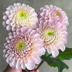 """( """"cooler temps bringing out a prettier side of wizard of oz Pink Perennials, Flower Farmer, Wizard Of Oz, Bring It On, Dahlias, Instagram Posts, Pretty, Plants, Dahlia"""