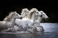 The stuff of dreams-   white horses of the Camargue in France [photo by BettyWiley1]