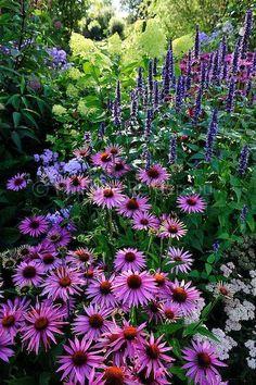echinacea purpurea 'After Midnight', agastache 'Blackadder'  에키네시아+배초향+톱풀+목수국