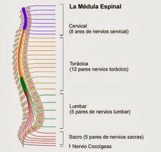 Características y funciones de la médula espinal ~ Ciencias Naturales - Carpeta Pedagógica http://cienciasnaturales.carpetapedagogica.com/2013/12/Caracteristicas-funciones-medula-espinal.html