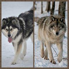 Alaskan Malamute vs. Grey wolf Malamute Vs Husky, Giant Malamute, Wolf Husky, Malamute Puppies, Alaskan Husky, Alaskan Malamute, Dog Vs Dog, Wolf Hybrid Dogs, Wolfdog Hybrid