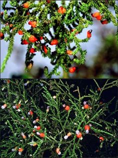 Rimu foliage and seeds (top) are a little different from those of kahikatea (bottom): rimu carries its seeds on upturned branchlets. Rimu and kahikatea are massive conifer trees, widely distributed throughout New Zealand. Both belong to the podocarp. Conifer Trees, Trees And Shrubs, Long White Cloud, Herbal Medicine, Native Plants, New Zealand, Wild Flowers, Nativity, Herbalism