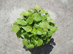 葡萄 ⚫ 籽洗淨,選取大粒飽滿者,陰乾,再覆土播種。依環境溫度不同(萌芽適溫 20-26ºC),約一星期至一個月不等。只是要結果很難。未經過嫁接長出來的果實,只有綠豆大小,很酸。 👉經濟品種純系葡萄對環境的抵抗力並不好。實生葡萄苗種來觀賞的居多,若要拿來吃的,要選取優良母株的枝條嫁接,或用優良結果母樹的枝條直接扦插入土。 Lettuce, Vegetables, Green, Food, Essen, Vegetable Recipes, Meals, Yemek, Salads