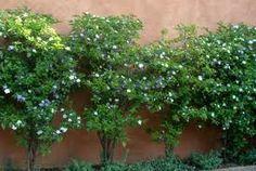 gardenia cerca viva - Pesquisa Google
